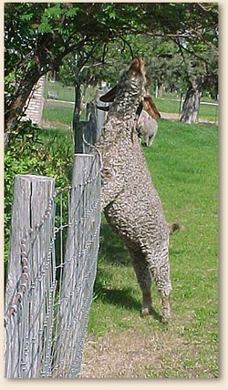 angora goat standing on fence